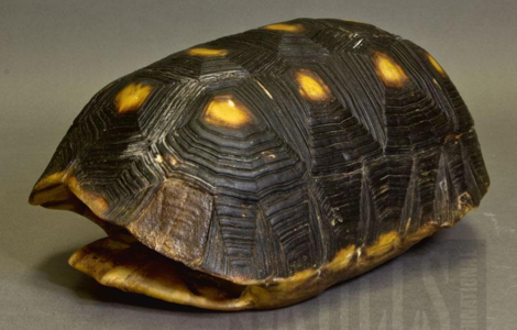Red-footed Tortoise Shell Natural Bone WOK-2381. Learn more in the article
