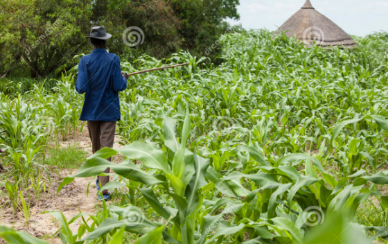 Small scale farming in South Sudan, a farmer in his millet farm(Photo: extracted)