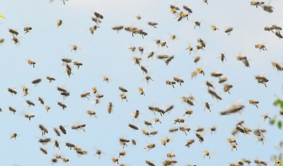 A swarm of bees has allegedly halted a dead conflict in Jonglei state(Photo: Shutterstock)
