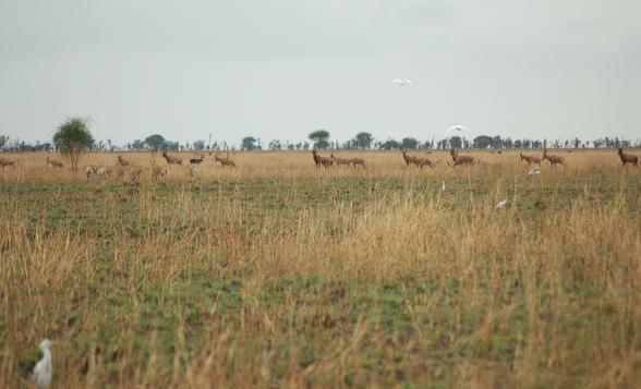 Tiang, Bokor reedbuck and white-eared kob near the main road, Jonglei state. Date created: 20 Jun 2007.